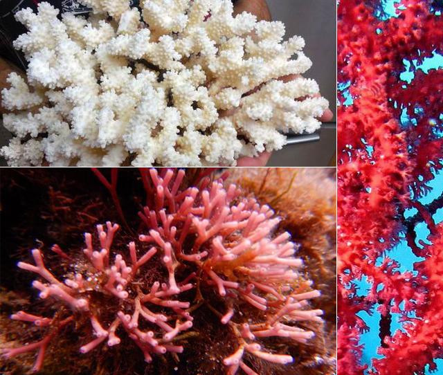 manista-koral-bijuta-3